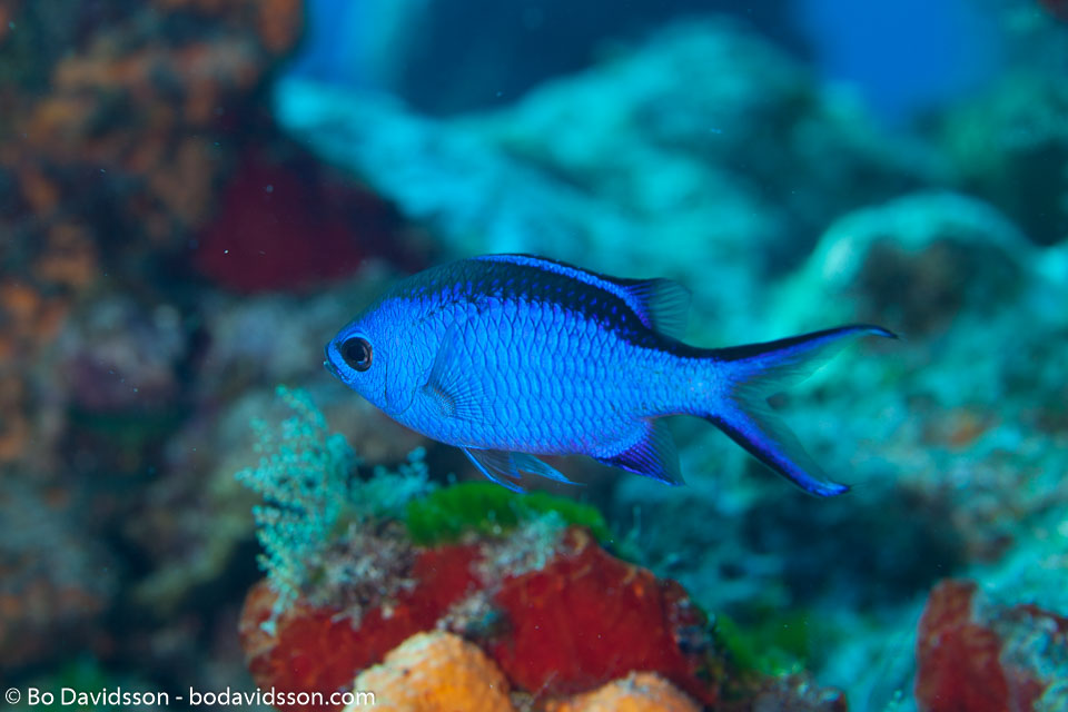 BD-101208-Cozumel-2860-Chromis-cyanea-(Poey.-1860)-[Blue-chromis].jpg